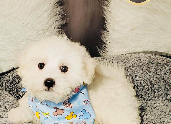 Ralph - Male | 9-Weeks Old | Maltese