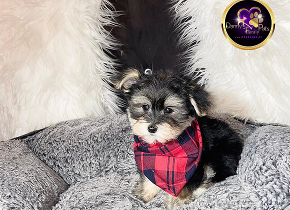 Styker - Male | 10-Weeks Old | Shorkie Tzu