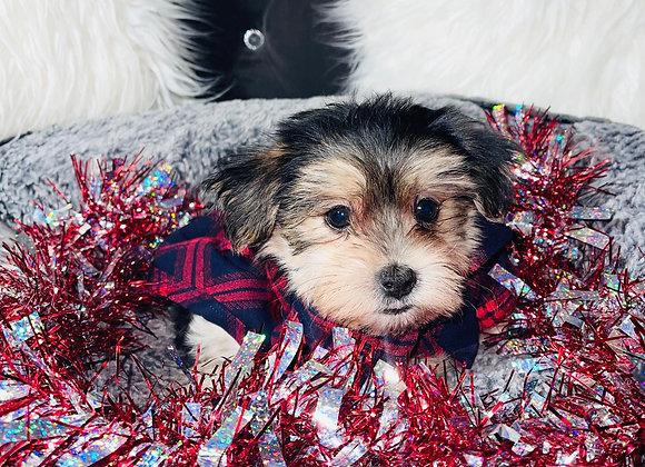 Cooper - Male | 8 -Weeks Old | Morkie