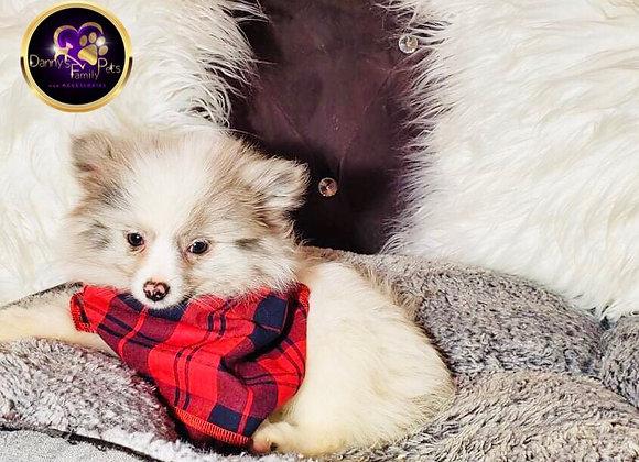 Vinson - Male | 12-Weeks Old | Pomeranian