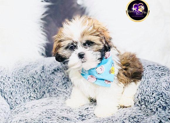 Bosco- Male | 8-Weeks Old | Shih Tzu