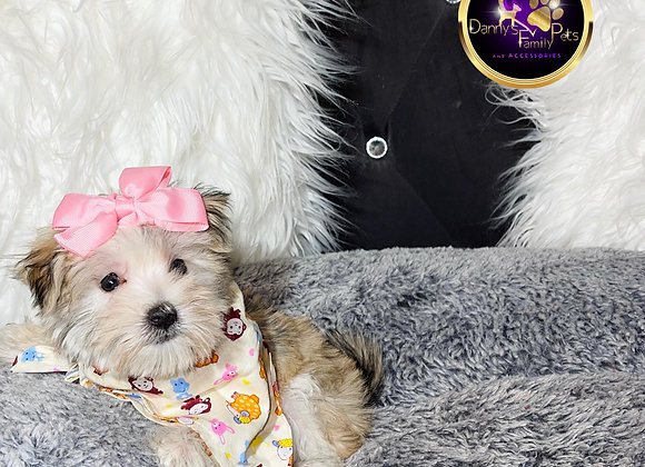 Star - Female | 9-Weeks Old | Morkie
