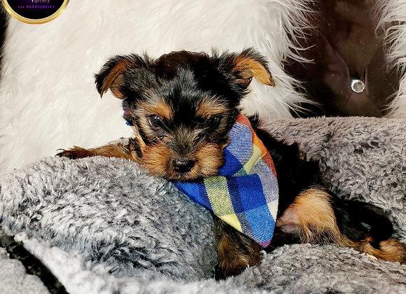 Ziggy - Male   8-Weeks Old   Yorkshire Terrier