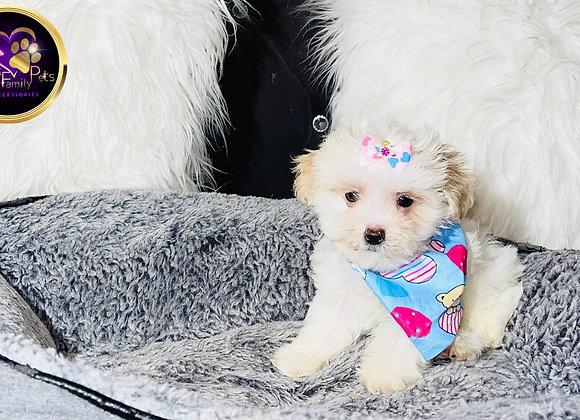 Kylie - Female | 8-Weeks Old | Shihpoo