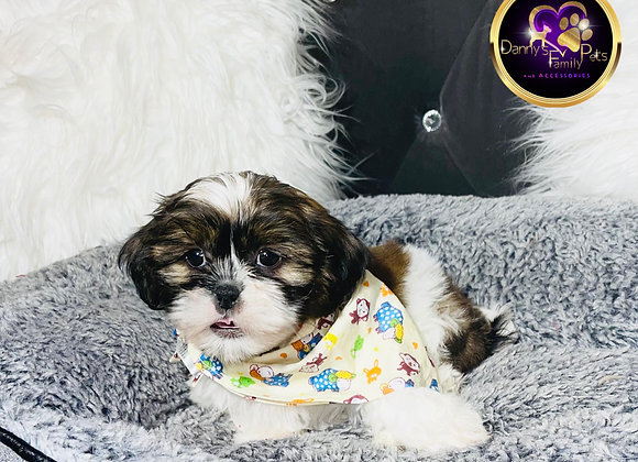 Rocco - Male | 8-Weeks Old |Teddy Poo