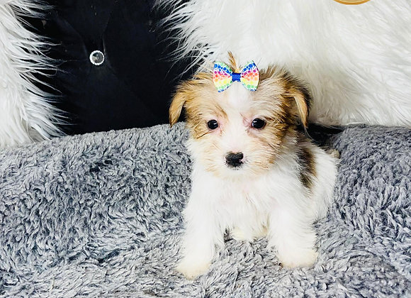 Lily - Female | 10-Weeks Old | Shorkie Tzu