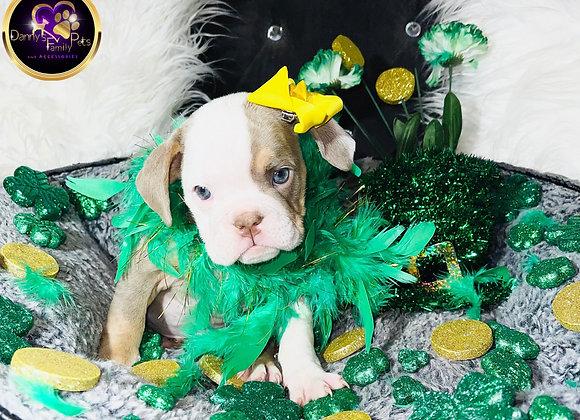Zeena - Female | 7-Weeks Old | English Bulldog