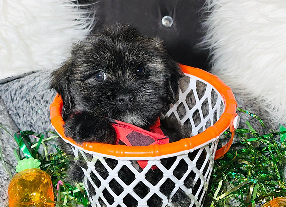 Samson- Male | 8-Weeks Old | Shihpoo