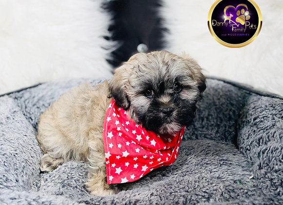 Cody- Male | 8-Weeks Old | Shichon