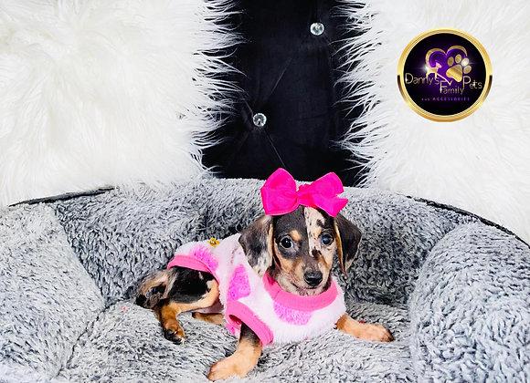 Diva- Female | 9-Weeks Old | Chiweenie