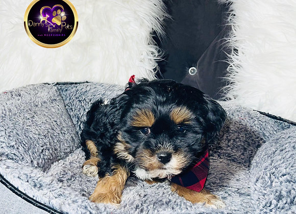Cooper - Male | 8-Weeks Old | Shichon