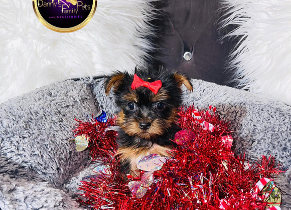 Dior - Female | 8 -Weeks Old | Yorkshire Terrier