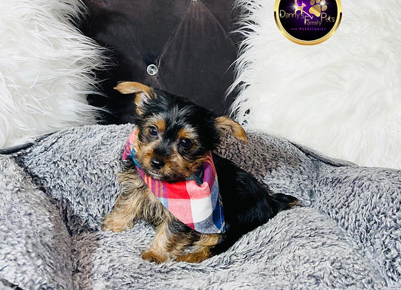 Mic - Male | 8-Weeks Old | Yorkshire Terrier