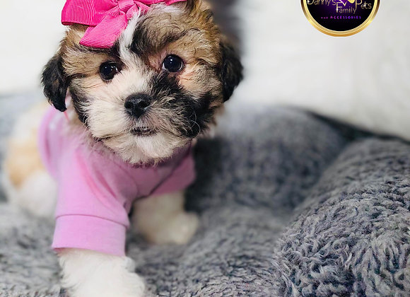 Bianca- Female | 8-Weeks Old | Shichon