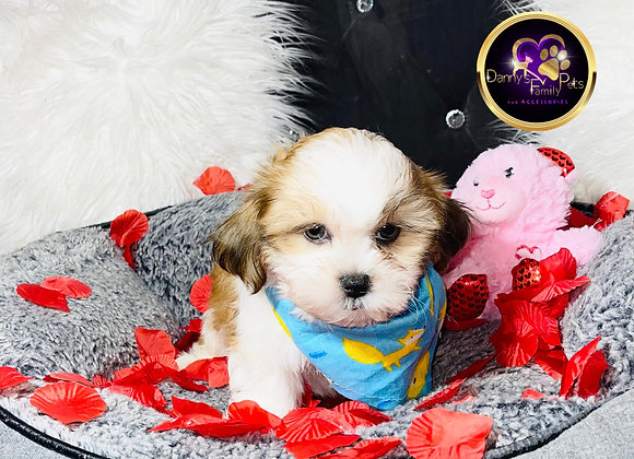 Kanon - Male | 9-Weeks Old | Shichon