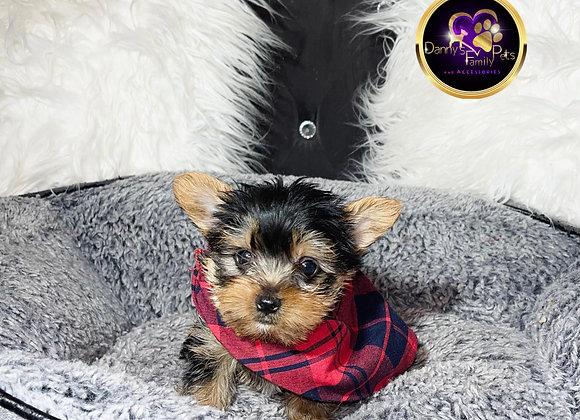 Pluto - Male | 9-Weeks Old | Yorkshire Terrier