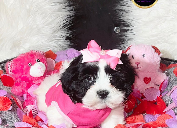 Brea- Female | 8-Weeks Old | Shichon