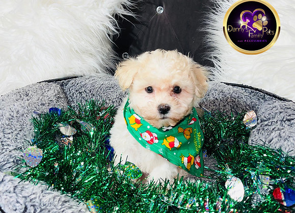 Max - Male | 8 -Weeks Old | Shichon