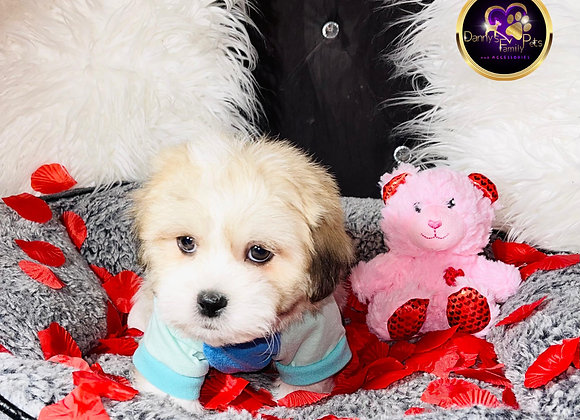 Ozzie - Male | 8-Weeks Old | Shichon