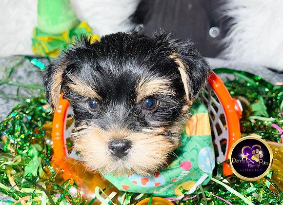Tori- Male | 8-Weeks Old | Yorkshire Terrier