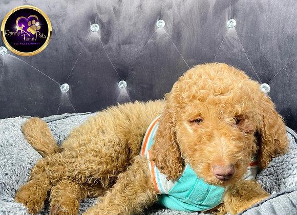 Zeke- Male | 9-Weeks Old | Goldendoodle
