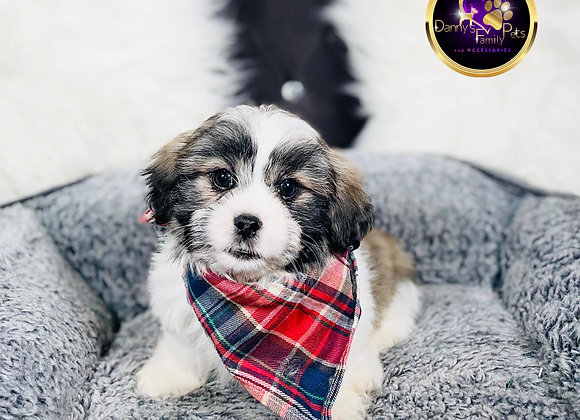 Scooby- Male | 8-Weeks Old | Shichon