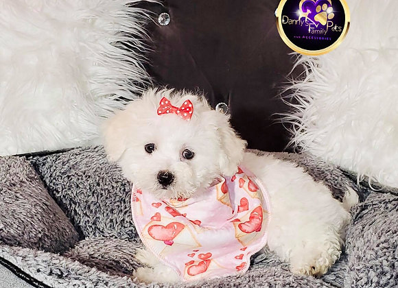 Lili - Female | 8-Weeks Old | Shihpoo