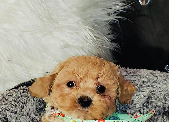 Chestnut - Male | 8-Weeks Old | Shichon