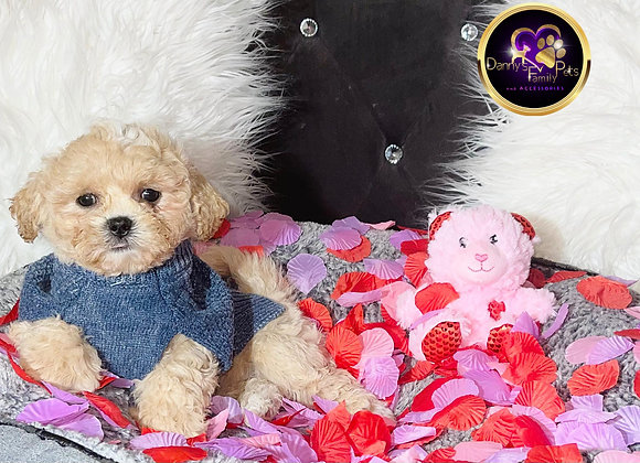 Cupid- Male | 8-Weeks Old | Shichon