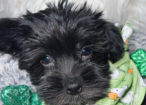 Elliot - Male | 9-Weeks Old | Morkie