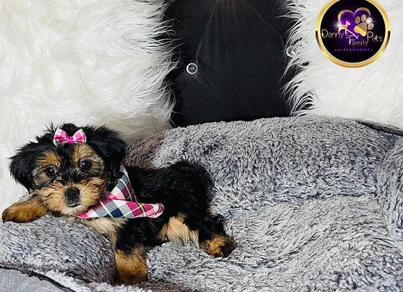 Brooke - Female | 8-Weeks Old | Shorkie Tzu