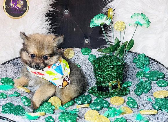 Devin - Male | 8-Weeks Old | Pomeranian