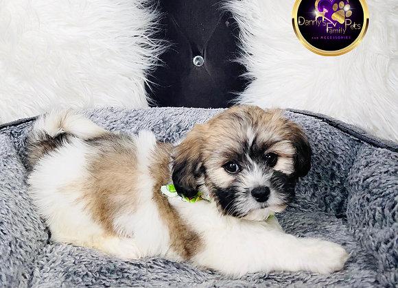 Jaxson- Male | 8-Weeks Old | Shichon