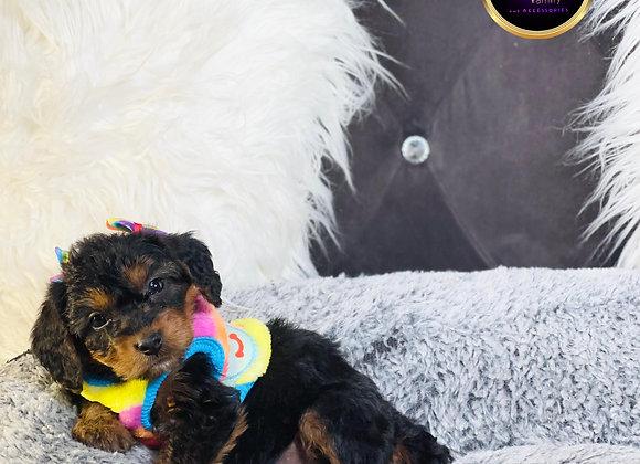 Riley- Female | 8-Weeks Old | Cavapoo