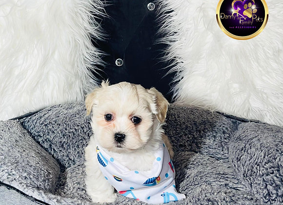 Snoopy - Male   8-Weeks Old   Shichon