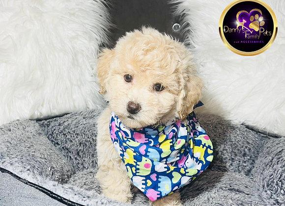 Buble - Male | 8-Weeks Old |Teddy Poo
