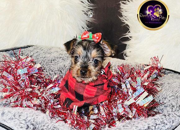 Freeta - Female | 8 -Weeks Old | Yorkshire Terrier