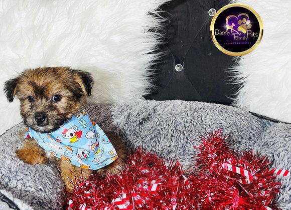 Bixby - Male | 8 -Weeks Old | Shorkie Tzu
