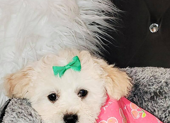 Libby - Female | 8-Weeks Old | Shihpoo