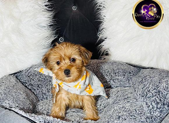 Prince - Male | 8-Weeks Old | Shorkie Tzu