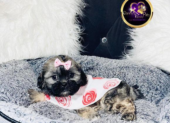 Gemma - Female | 8-Weeks Old | Shichon
