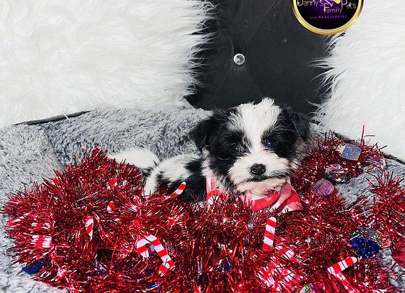 Blinky - Male | 8 -Weeks Old | Shorkie Tzu