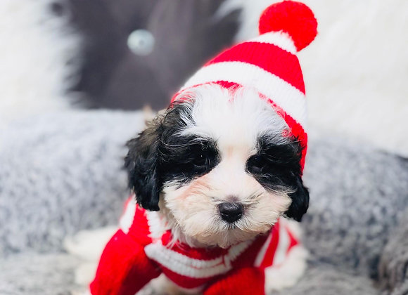 Clover- Male   9-Weeks Old   Shihpoo
