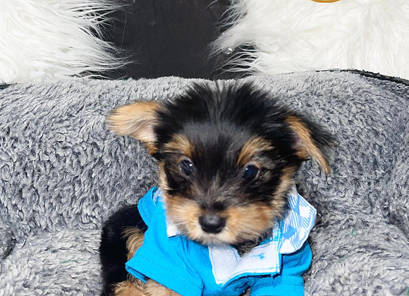 Corbitt- Male | 8-Weeks Old | Yorkshire Terrier