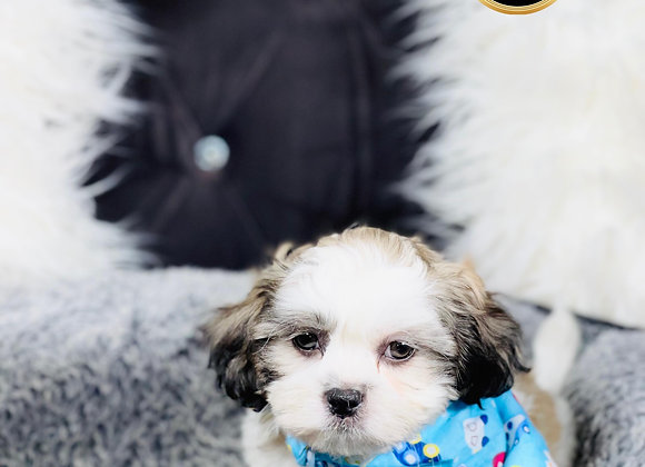 Pickles- Male   8-Weeks Old   Shichon