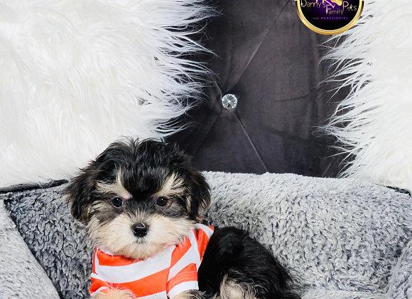 Zipper- Male   9-Weeks Old   Morkie