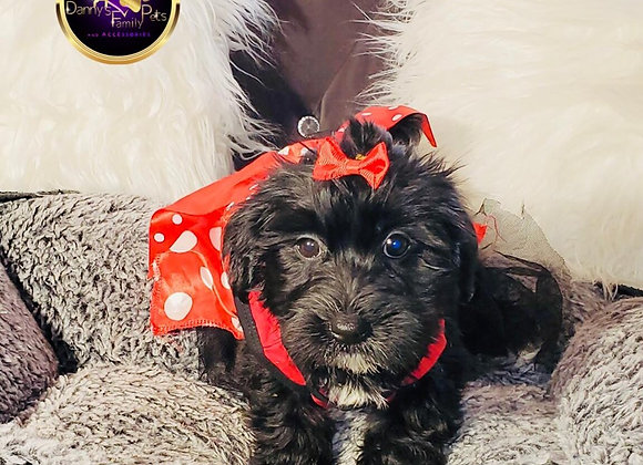 Bella - Female | 8-Weeks Old | Yorkiechon