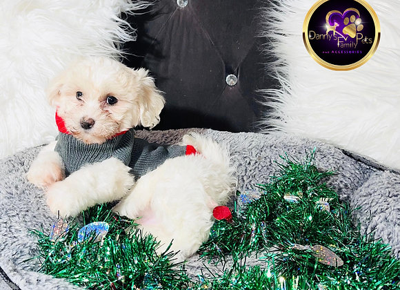 Toby - Male | 8 -Weeks Old | Shichon