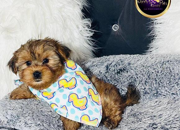 Louie - Male | 8-Weeks Old |Morkie