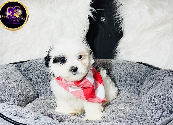 Kovu - Male | 8-Weeks Old | Shihpoo